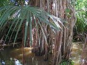 mangrove-eau