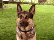 Soyez vigilant face à la leishmaniose canine