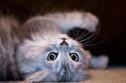 Le ronron du chat : un m�dicament sans effet secondaire