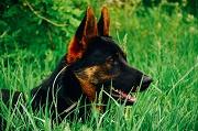 Le berger allemand, chien préféré en 2015