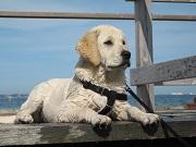 Assurance chien chat : pourquoi un chien aboie-t-il ?