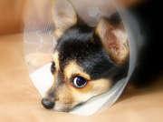 chien-collerette-yeux