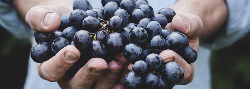 Le pouvoir du raisin qui aiderait à lutter contre la maladie d?Alzheimer