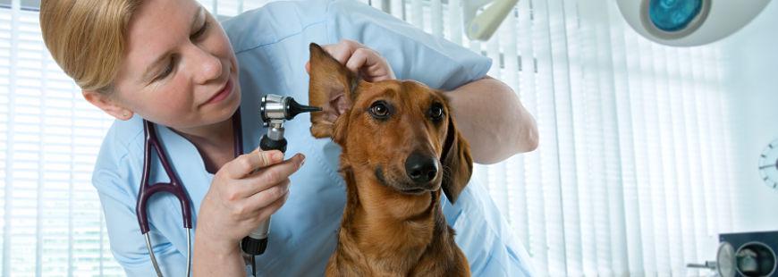 Malade de la grippe : êtes-vous contagieux pour votre animal ?