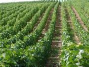 Les orage ont fait des dégâts sur le vignoble bordelais