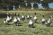 Un nouveau cas de grippe aviaire au Royaume-Uni